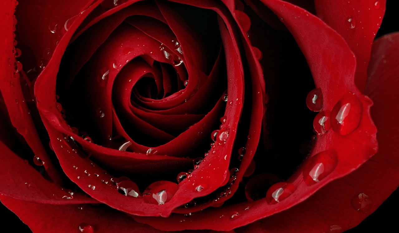 Sperimentazioni Lispirazione Di Una Rosa Rossa Ratatuia