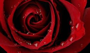 Rosa_rossa