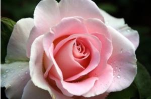 Rosa_rosa